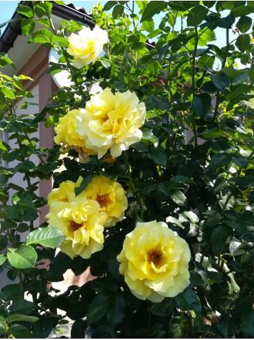 троянда Ліхтконігін Люсія