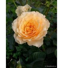 троянда Marjorie Marshall