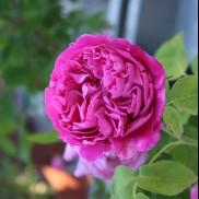 троянда Paul Neyron