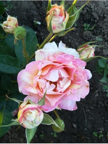 Троянда шраб Rose des Cisterciens
