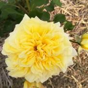 троянда Sterntaler