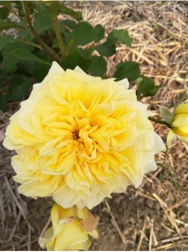 троянда шраб Штернталер