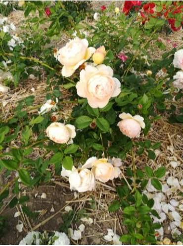 троянда Уоллертон Олд Хол