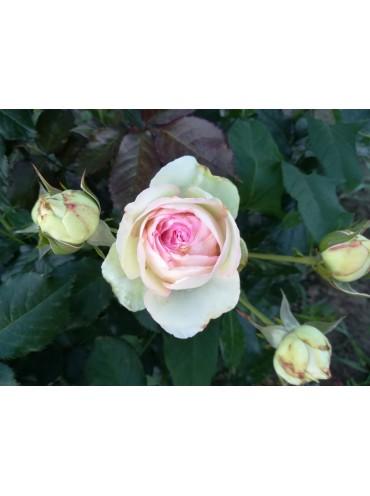 Троянда напіввитка Еден