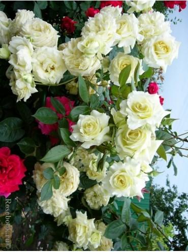 Троянда витка Ельф