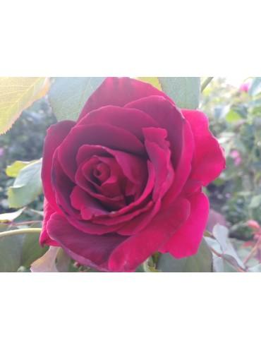 Троянда витка Ред Парфюм