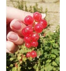 Смородина Любава, рожева
